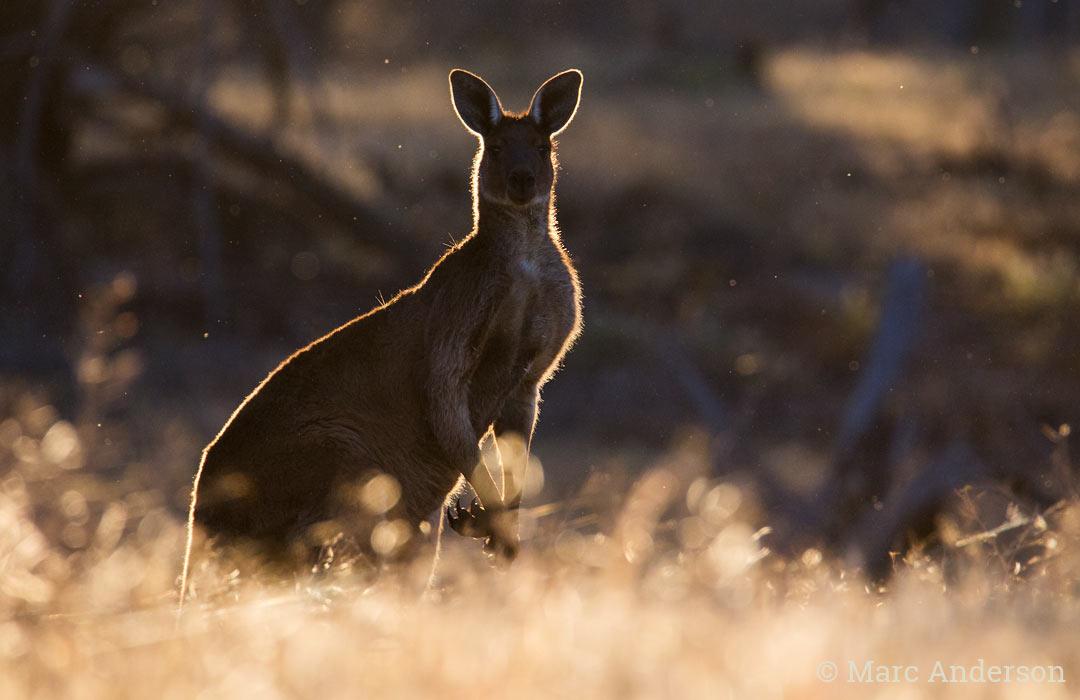 Male Western Grey Kangaroo (Macropus fuliginosus)