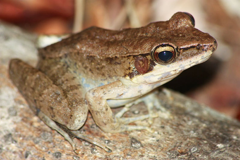 Australian Wood Frog (Papurana daemeli)