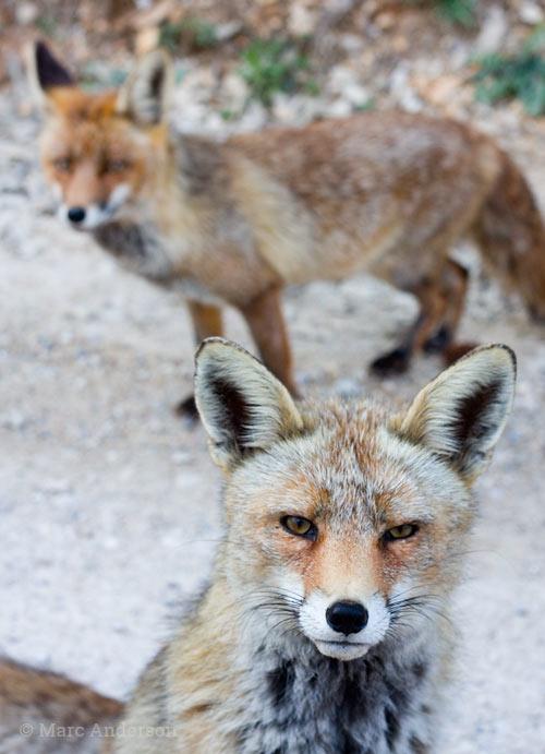 Male & female Red Fox, Cazorla national Park, Spain