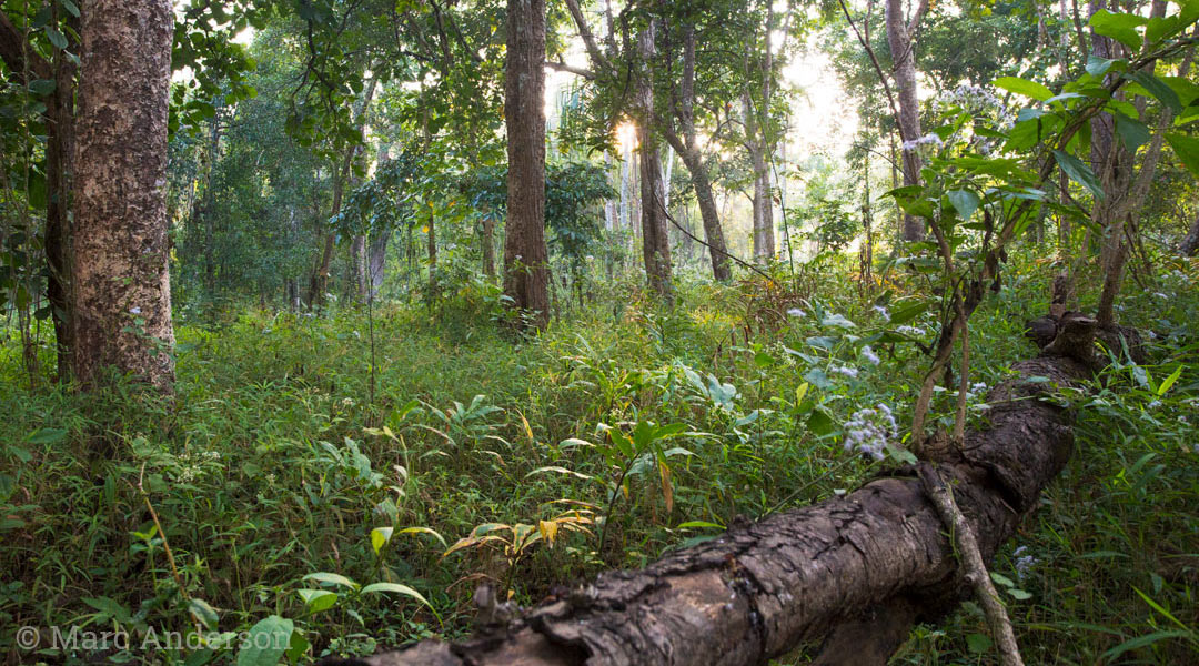 Dry dipterocarp forest with grassy understorey, Thung Yai Wildlife Sanctuary