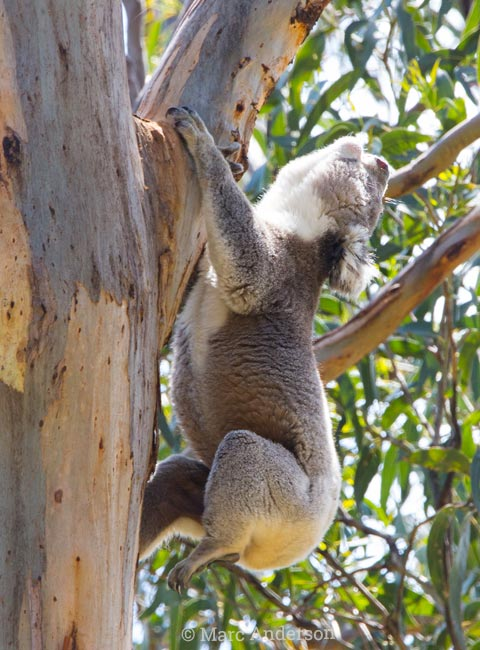 Koala bellowing