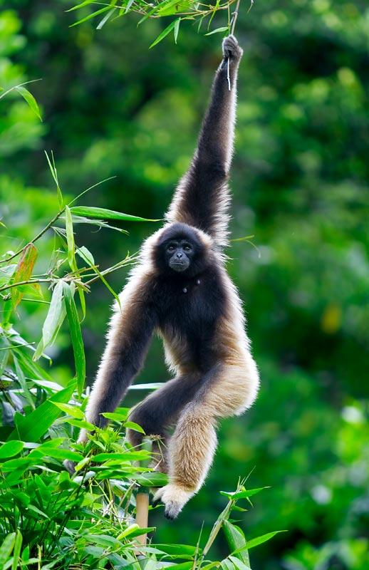 Müeller's gibbon (Hylobates muelleri)