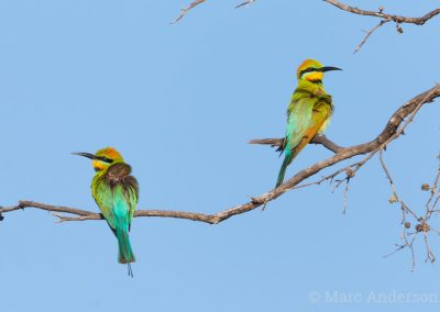 Rainbow Beeeaters