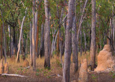Eucalyptus woodland