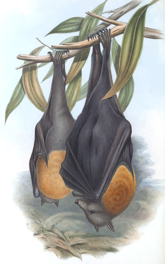 Grey-headed Flying Fox (Pteropus poliocephalus) artwork