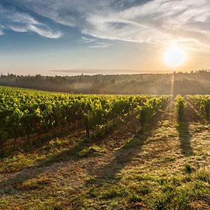 vineyards-sunset-300x300