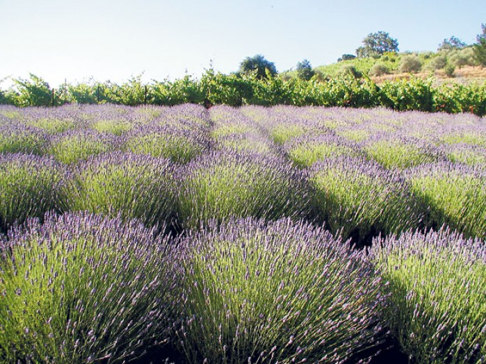 harms-winery-lavender