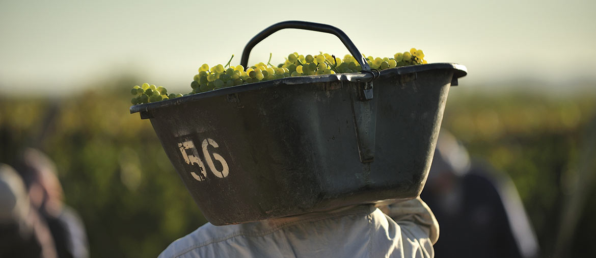 napa-valley-harvest-season-a-travelers-guide-1170x506-r