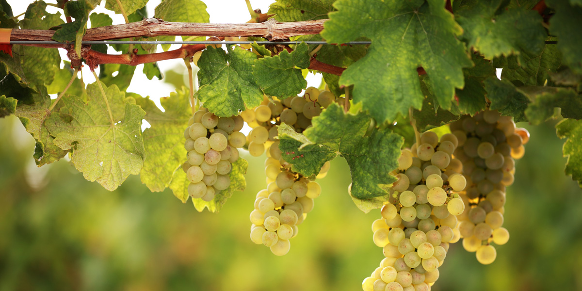 whiteWineGrapes_1200x600