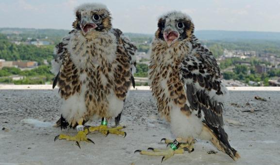 peregrine_falcons_harrisburg1.jpg