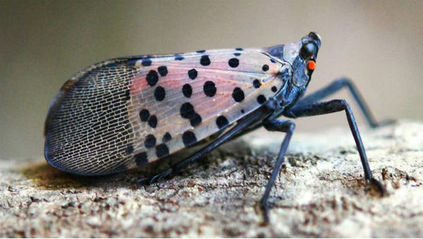 spotted lanternfly 600 x 340.jpg