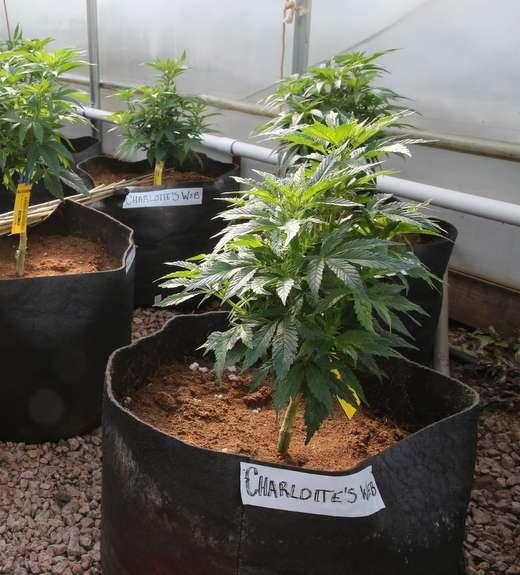 Charlotte's Web medical marijuana, the-daily-record.com