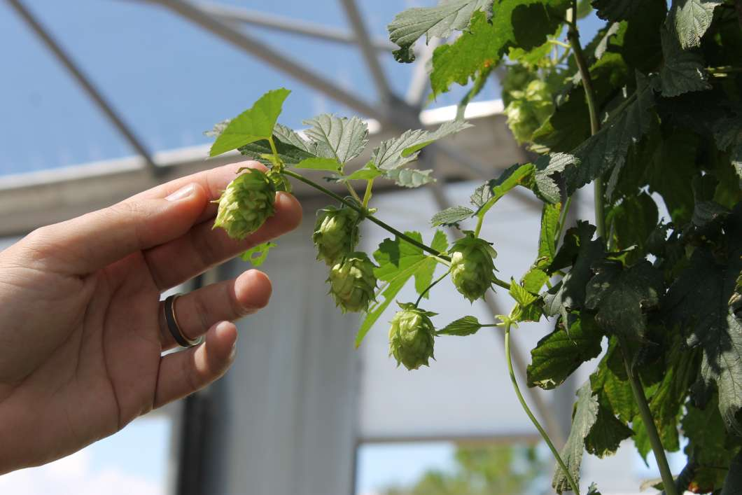 Brian Pearson is figuring out just how well hops will grow at the University of Florida's research center in Apopka. Photo: Matthew Peddie, WMFE