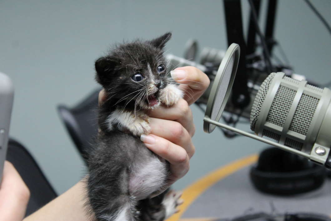 Whitney Boylston holds up Jefferson, one of six kittens that arrived on July 3 in Lake County. Photo: Matthew Peddie, WMFE.