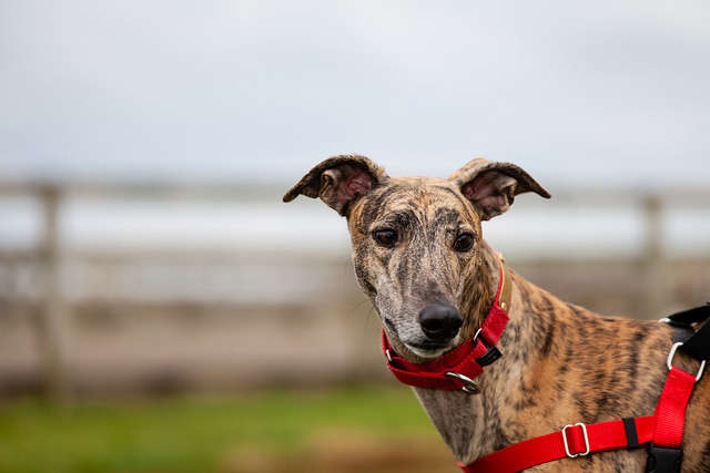 Voters ended greyhound racing by passing amendment 13 by almost 69 percent, but the amendment includes language saying that those card rooms can continue to operate. Photo: Flickr Creative Commons