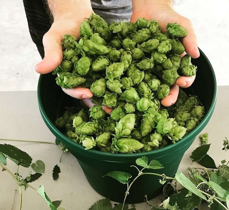 Image: Hops grown in Florida Photo by Matt Roberts, orlandoweekly.com