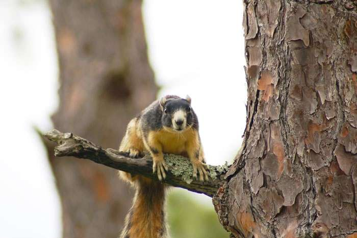 Southern fox squirrel. Photo courtesy Florida Fish and Wildlife Conservation Commission