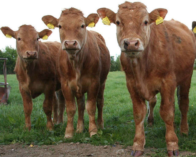 The county ranks in the top ten for cattle jobs and revenue. Photo: Flickr Creative Commons