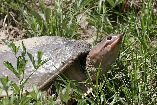 Softshell turtle. Photo courtesy Florida Fish and Wildlife Conservation Commission