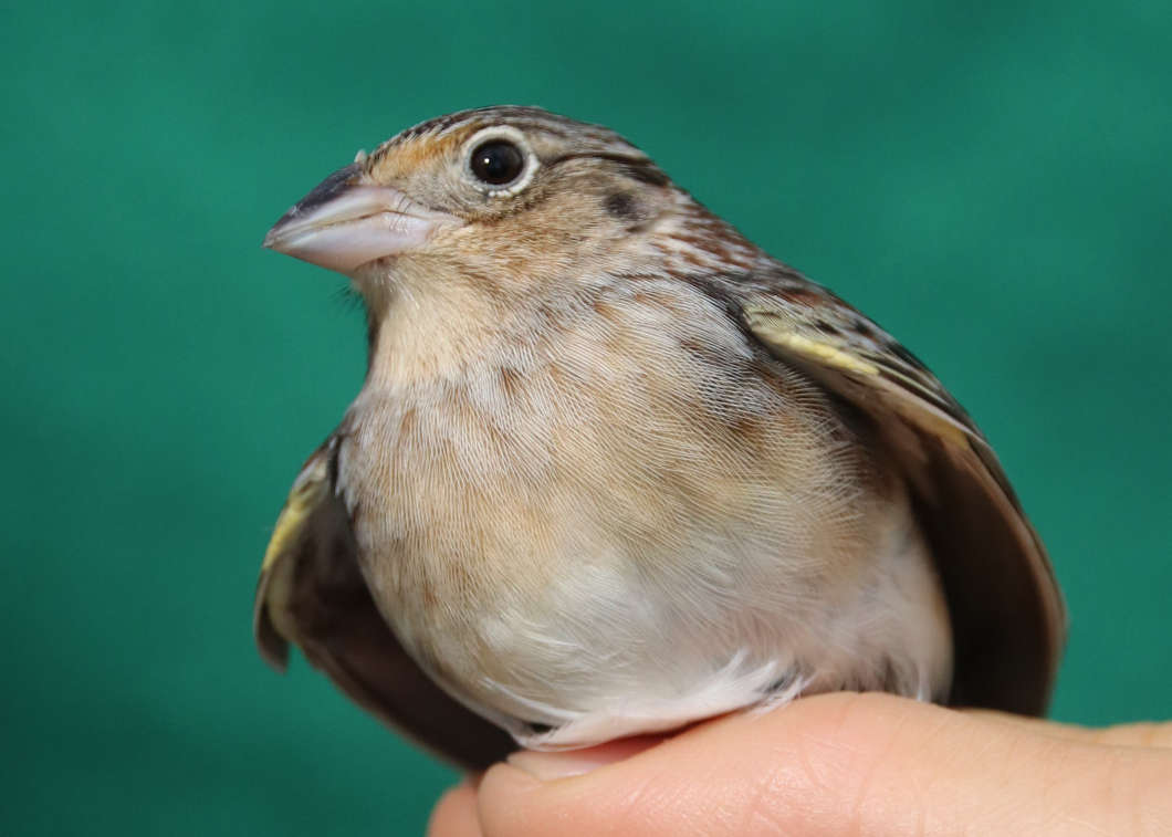 Fewer than 80 Florida grasshopper sparrows remain in the wild. Photo courtesy Florida Fish and Wildlife
