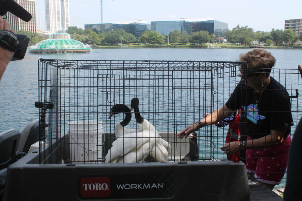 The two swans that were donated by Swan-A-Thon. Photo by Jordyn Markhoff