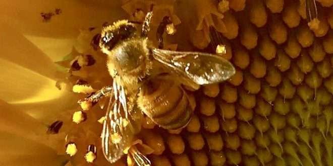 Image: Honey Bee, leugardens.org