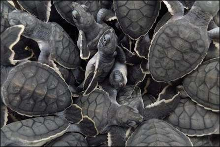 Green turtle hatchlings. Photo: Kayla Nimmo, National Park Service