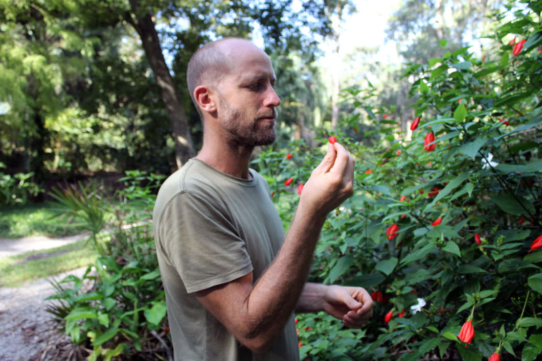 Rob Greenfield browses on red hibiscus in Dickson Azalea Park, Orlando. Photo: Matthew Peddie, WMFE