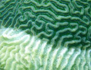 coral disease