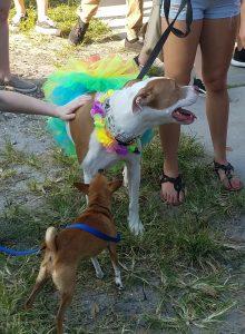 St. Pete Pride 2017 LGBTQ+ pride dog