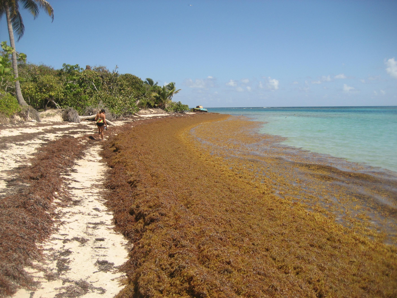 Sargassum algae bloom Puerto Rico Culebra