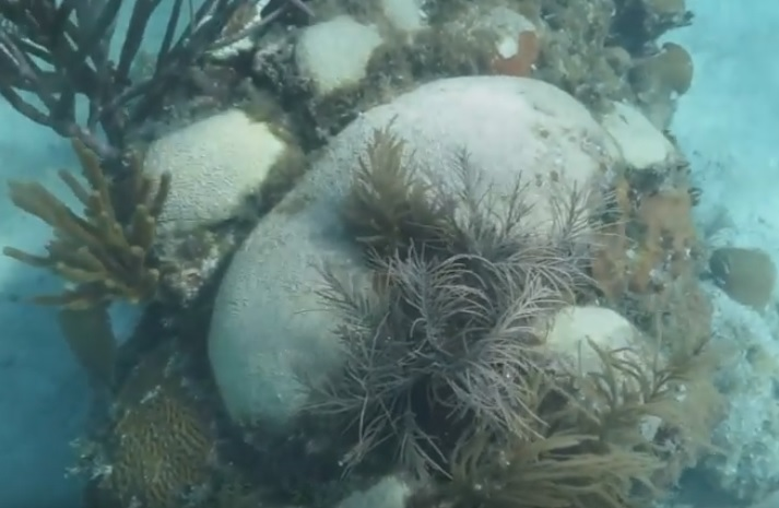 Stony Coral Tissue Loss Disease - white-plague disease coral disease FWC - stony coral tissue loss disease