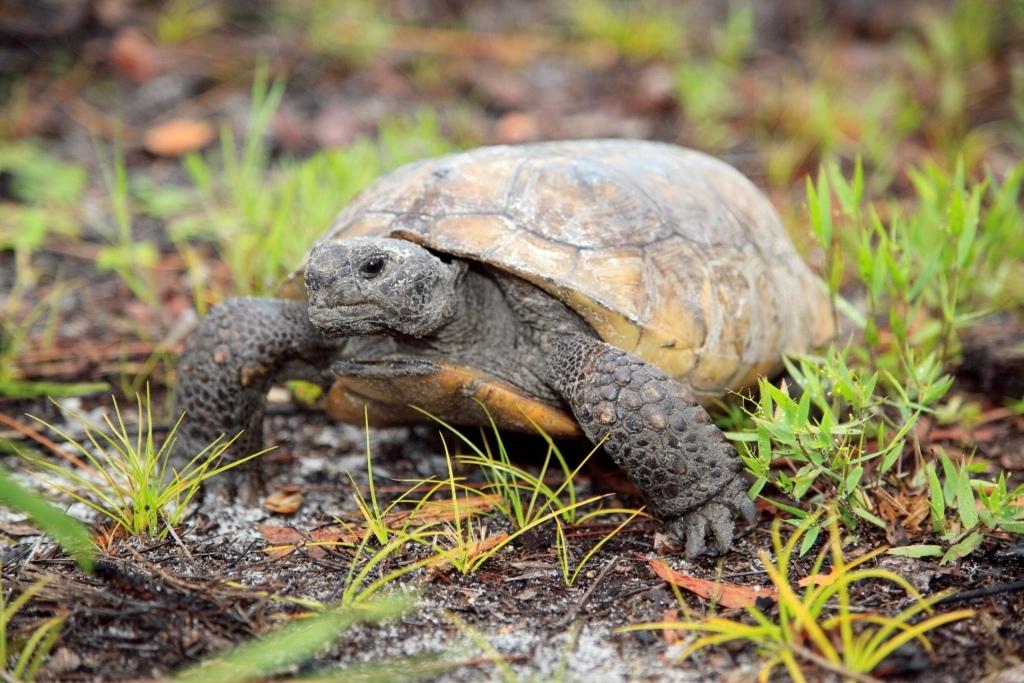 Gopher tortoise like those found at Boyd Hill