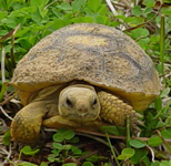 gopher tortoises are common at Boyd Hill