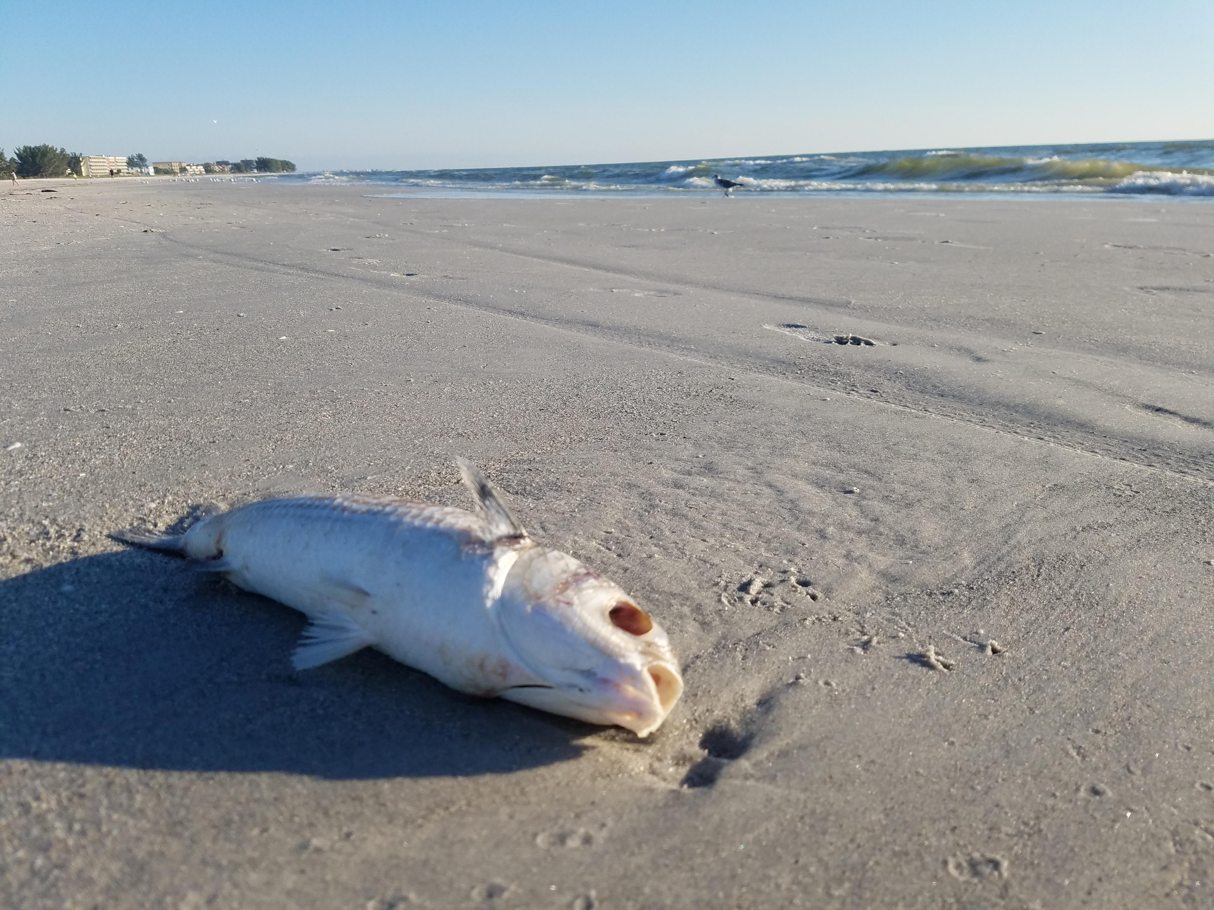 red tide fish kill beach