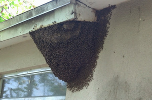 Bee Removal, Tampa, FL
