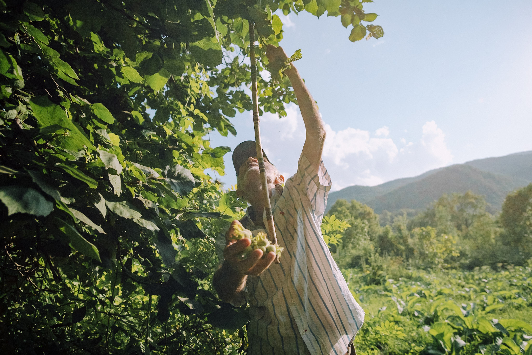 Dimitri Mais' father, Paata, is shown picking hazelnuts from a tree in his yard in Tskhmori