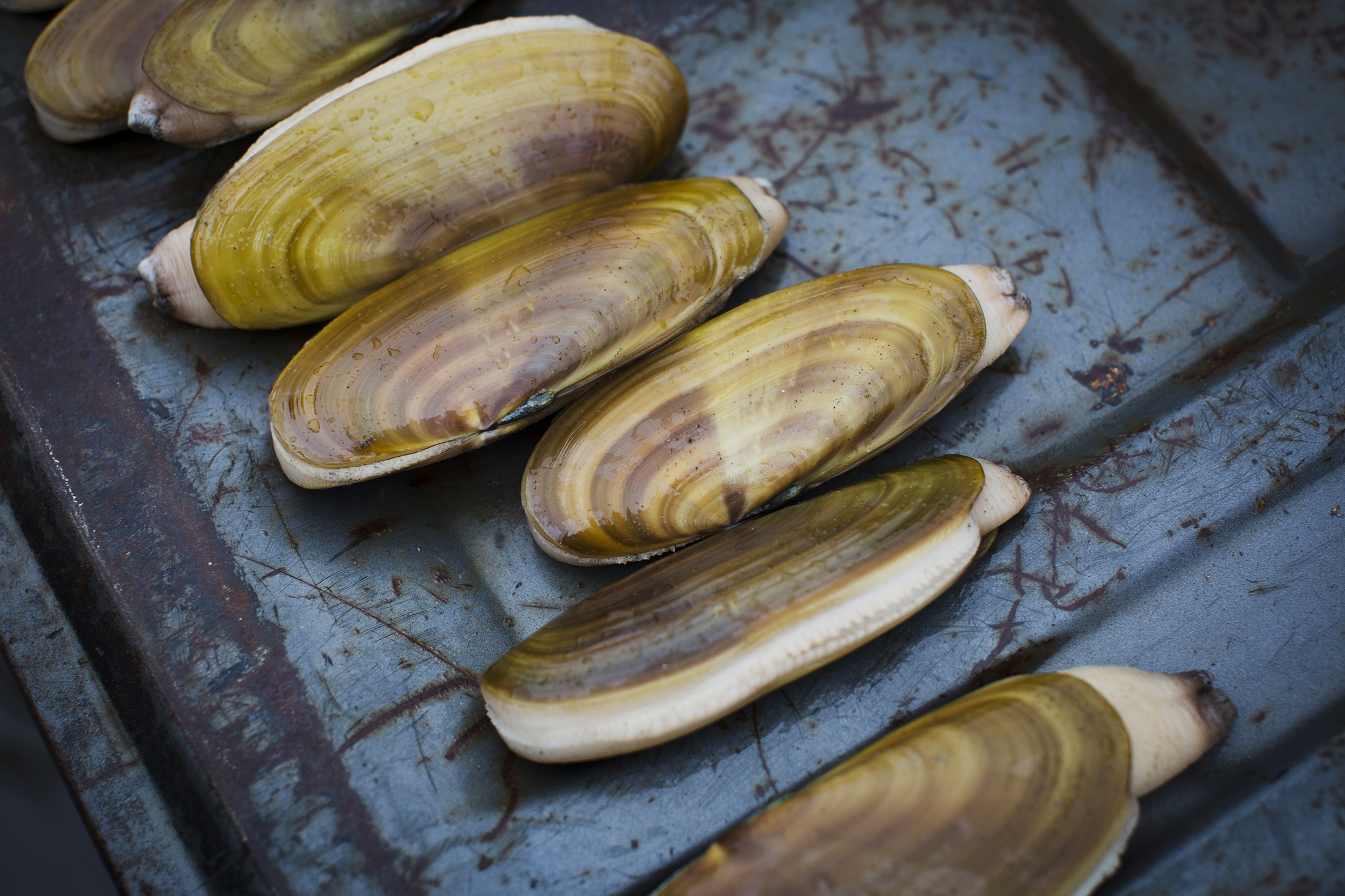 Richard Darbonne gets up close and personal to the coveted gold shelled clams for 1859 Magazine