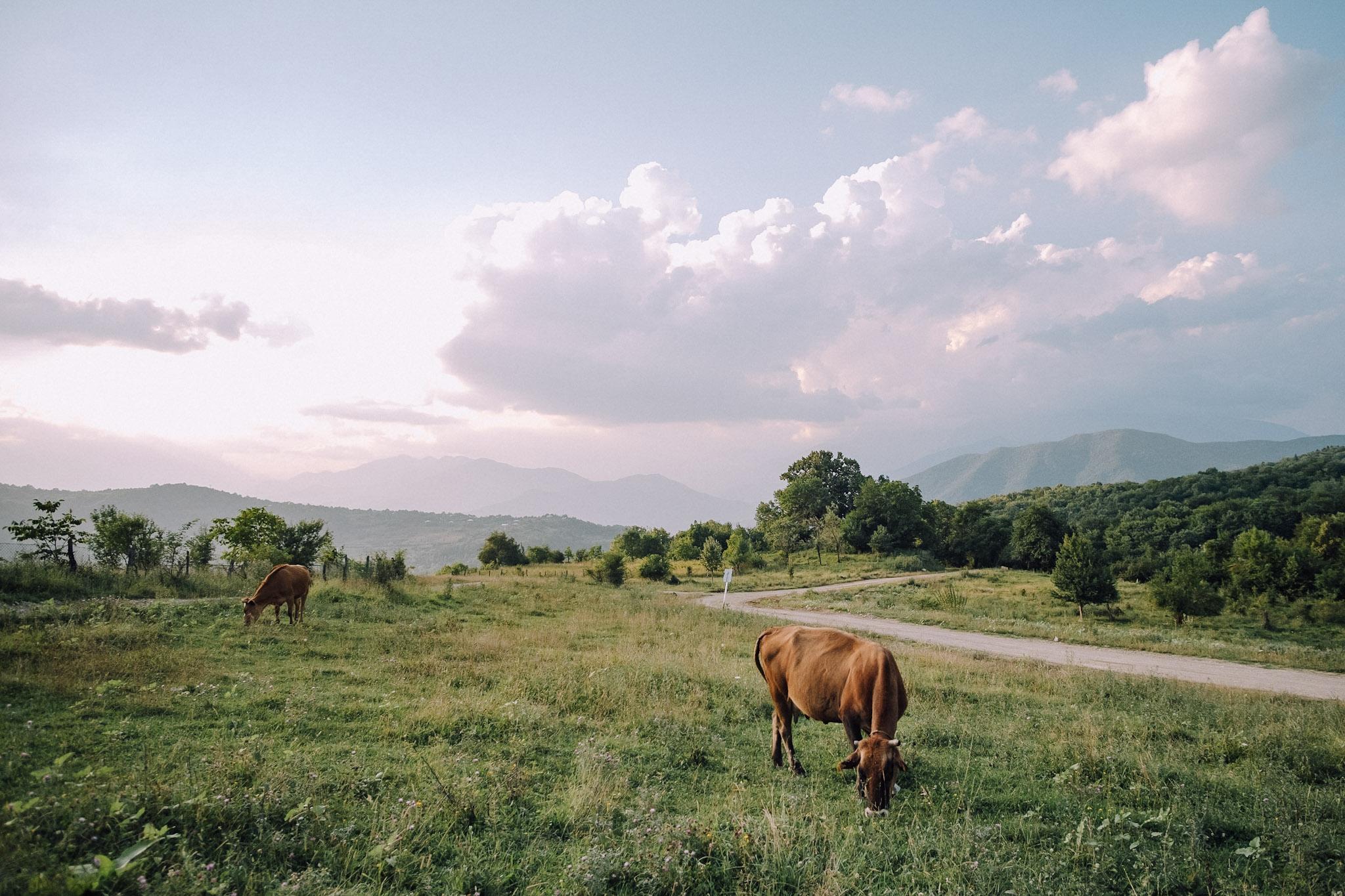 Two cows are grazing in a field   in Tskhmori, Georgia, in Dimitri Mais' photo