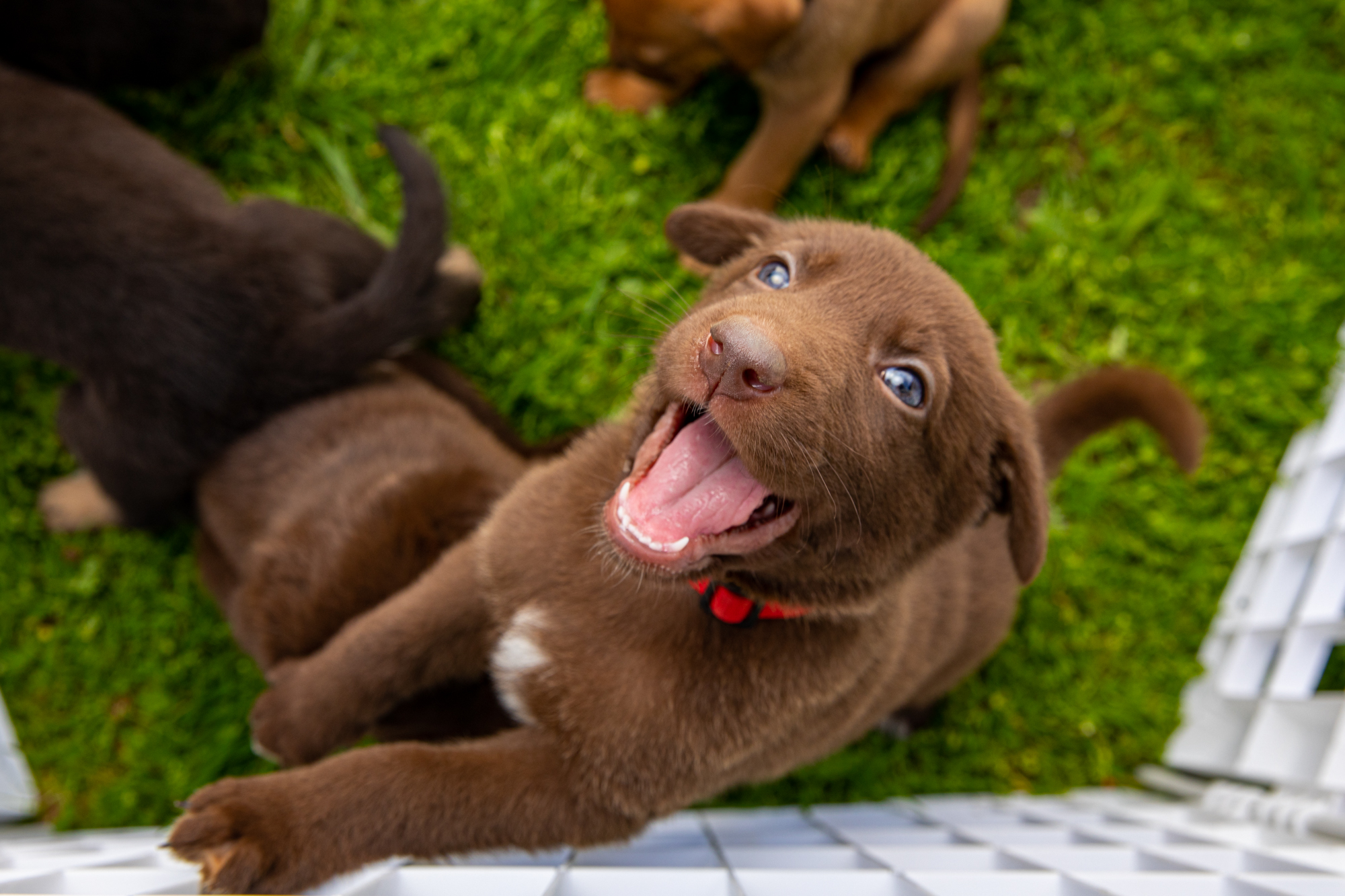 Mark Rogers Photographs the happiest chocolate puppy anyone has ever seen for Healthy Paws Pet Insurance