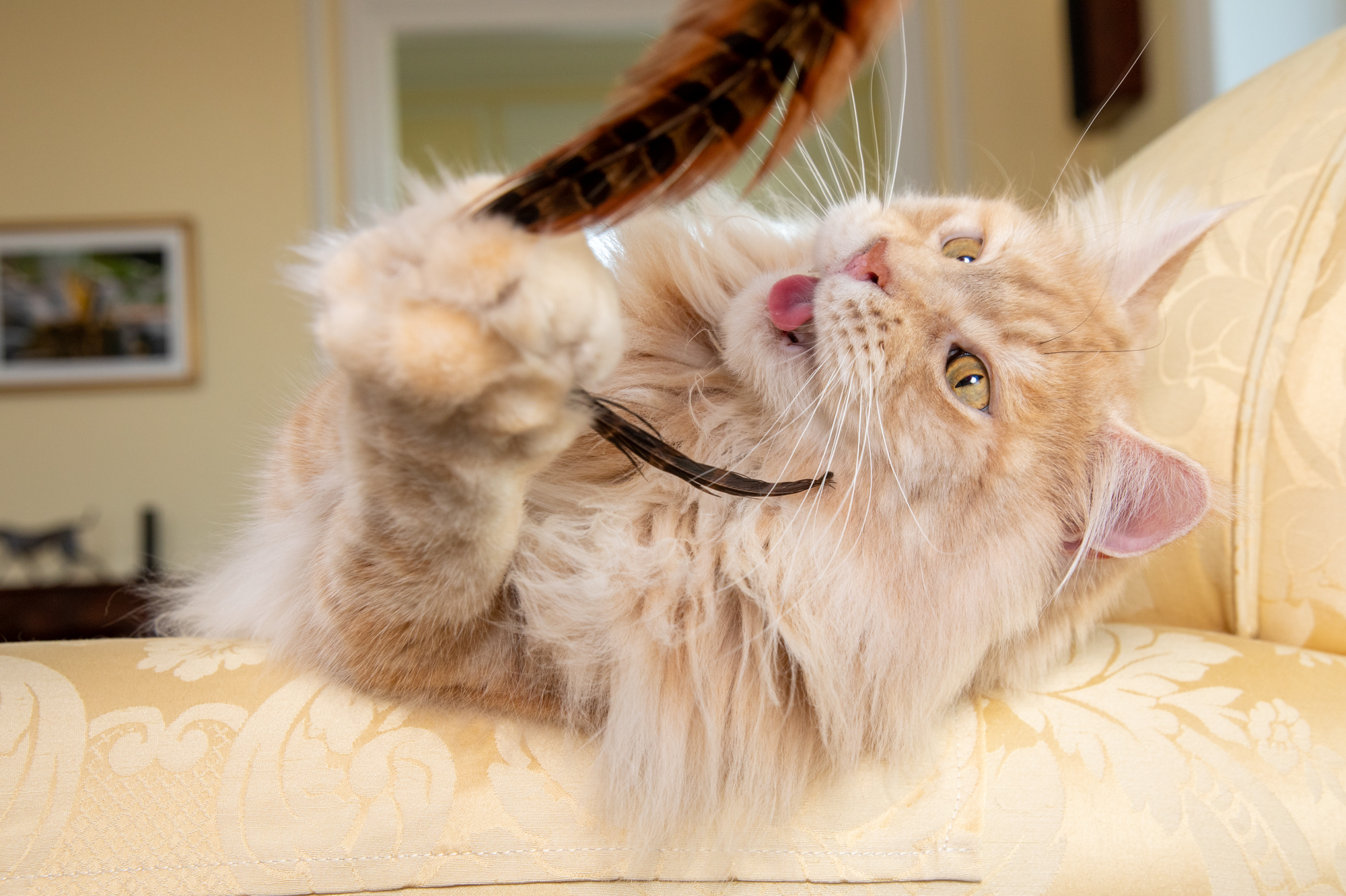 Mark Rogers photographs a very fully light tan cat playing with a feather with its tongue out for Healthy Paws Pet Insurance
