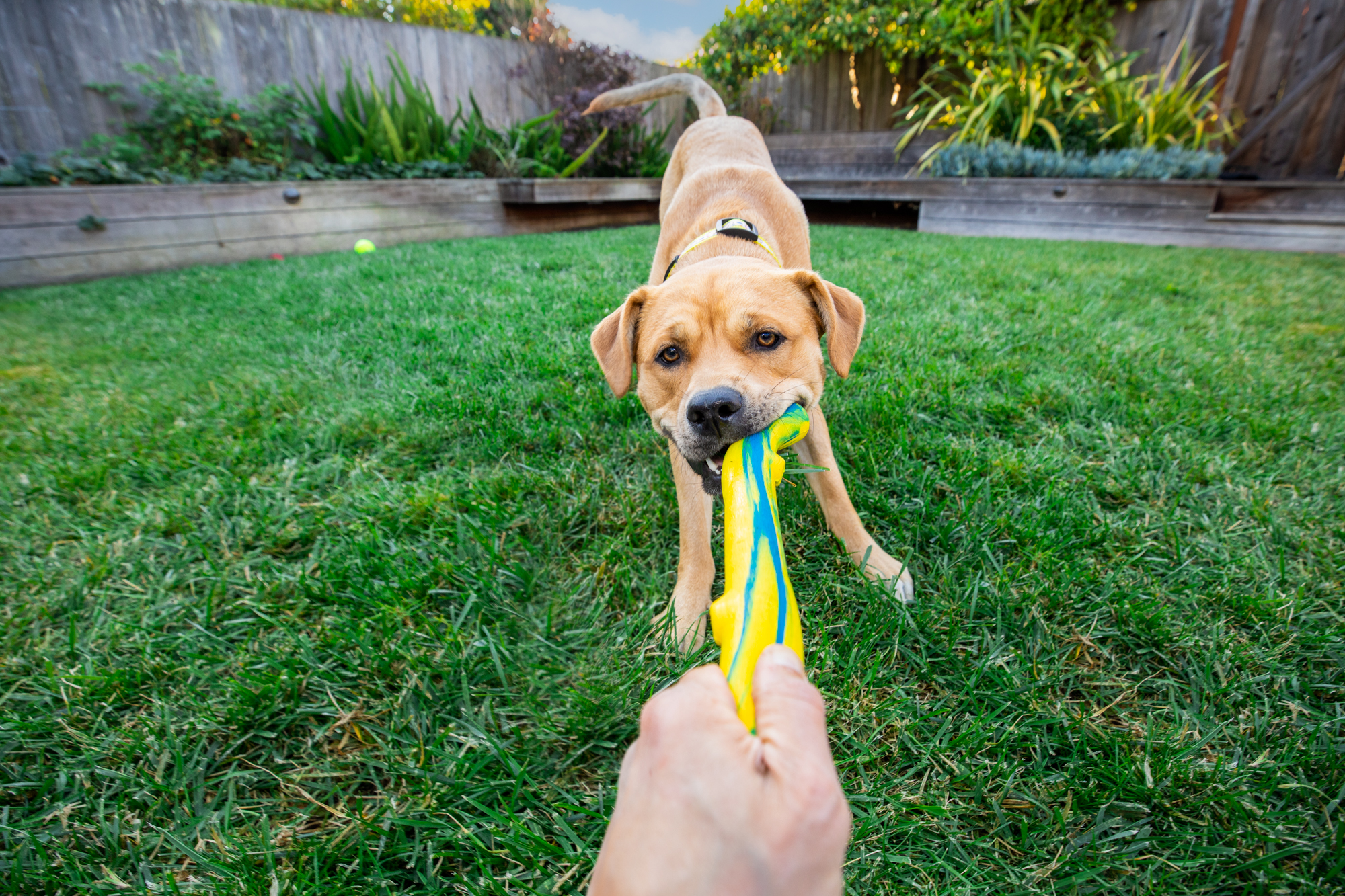 Mark Rogers plays with the talent and photographs a gorgeous strong yellow dog playing tug of war for Healthy Paws Pet Insurance