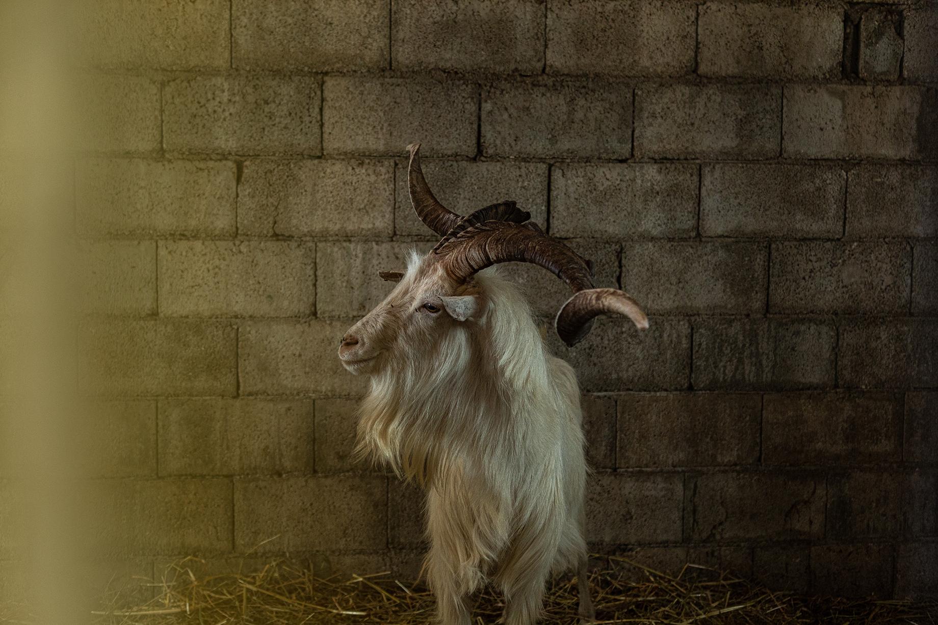 A male goat shot by Alberto Bernasconi for Enjoy magazine
