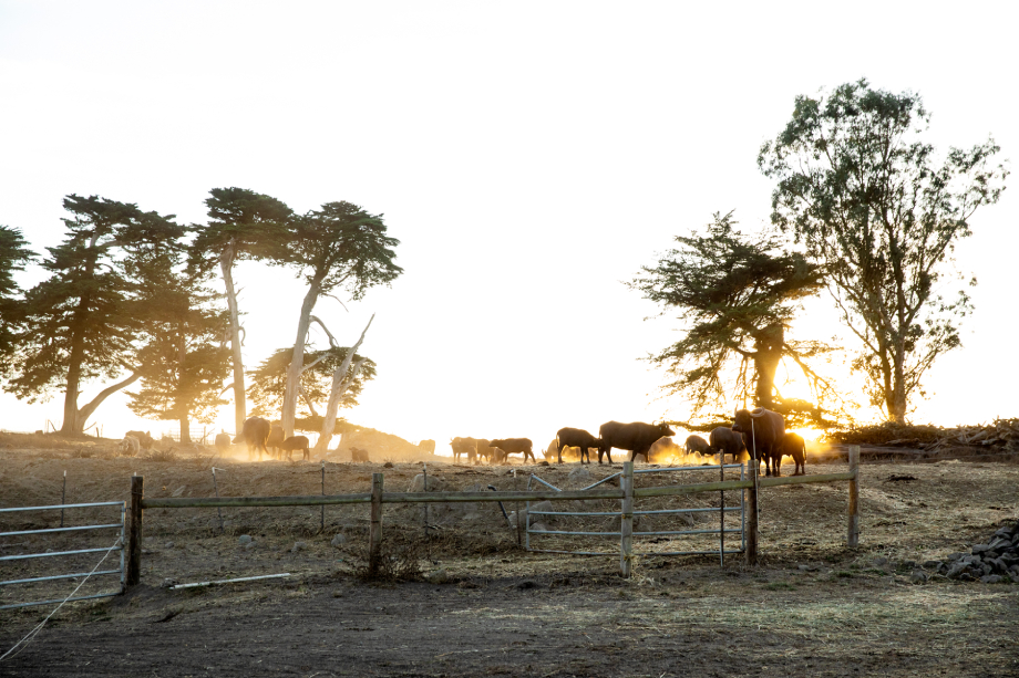 A herd of cattle at sunset shot by Angela DeCenzo for National Geographic Traveller Food magazine