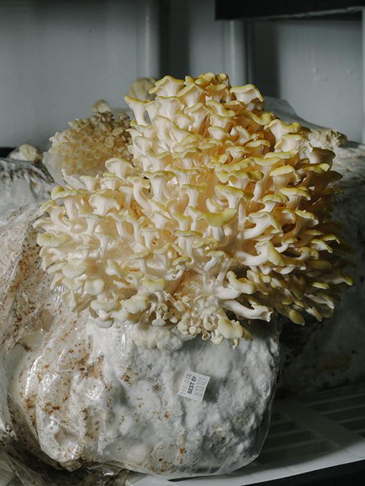 A close up of a mushroom from Gratitude Farm by James Jackman,  farm, mushroom, Edible South Florida, food magazine, fungi, editorial food photography, food magazine photography, lifestyle photography, editorial food photographer, phoode