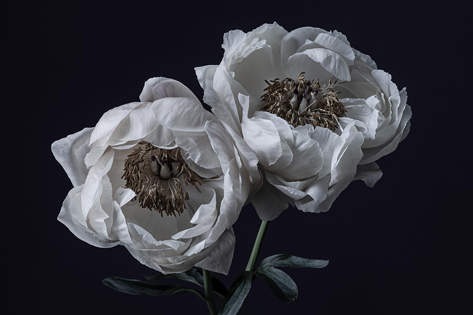 Two peonies up close photographed by Richard Boll.