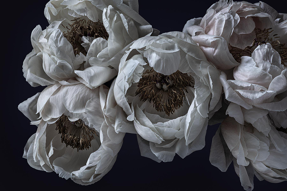 Peonies photographed by Richard Boll.