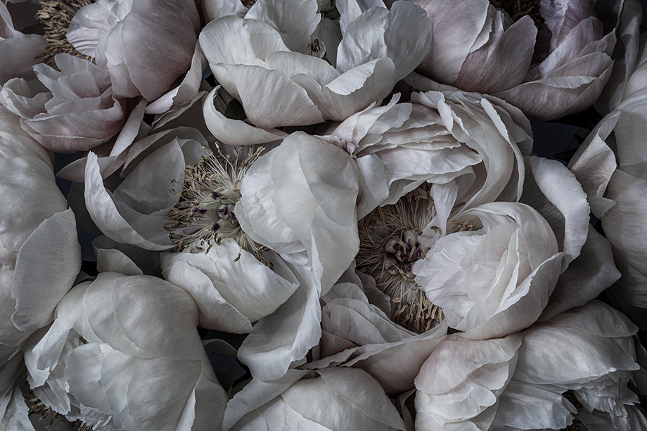 Soft, delicate peony blooms photographed by Richard Boll.