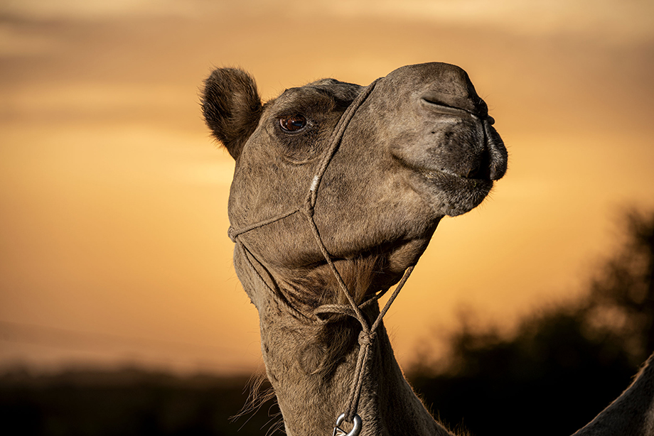 Richard the Camel is ready for his close-up in morning light at the Texas Camel Corps ranch outside Waco, Texas. Photography by Scott Van Osdol.