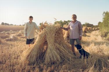 Matravers Thatchers Harvesting Wheat 0015